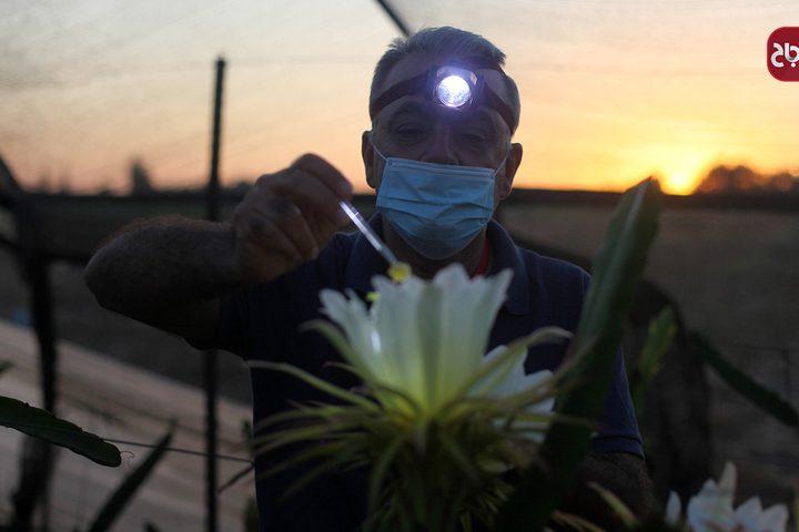 """مزارعون في غزة ينجحون بإنتاج فاكهة """"التنين"""" الاستوائية"""