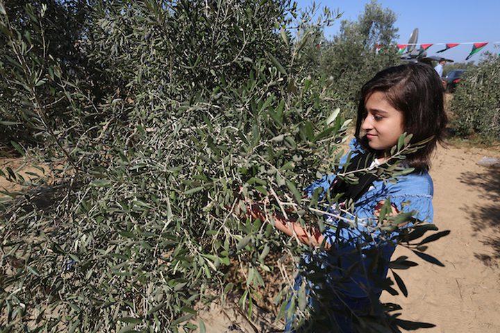 طفلة فلسطينية تشارك في حفل افتتاح موسم الزيتون في بلدة خزاعة ، شرق خان يونس جنوب قطاع غزة