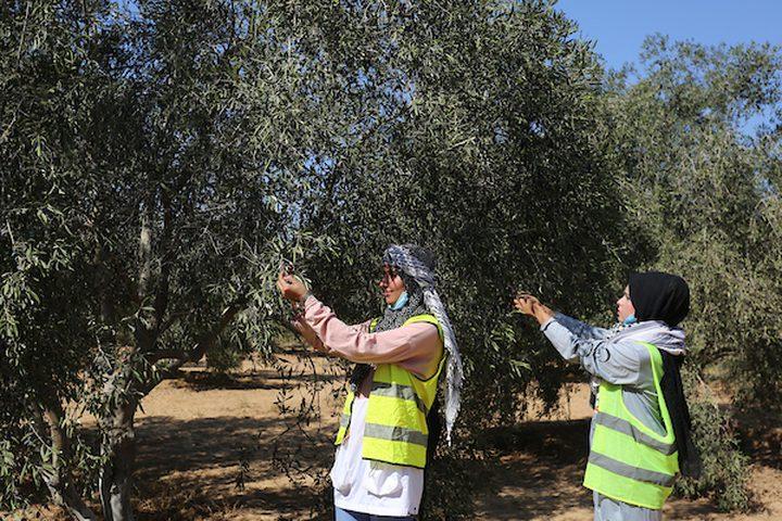 نساء يشاركن في حفل افتتاح موسم الزيتون في بلدة خزاعة ، شرق خان يونس جنوب قطاع غزة