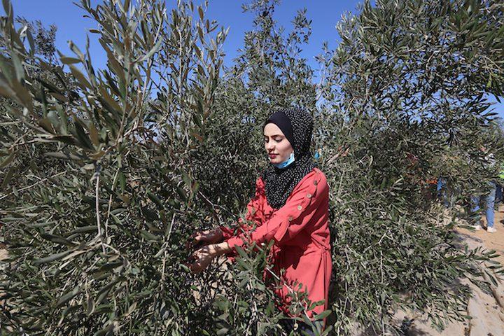 فتاة فلسطينية تشارك في حفل افتتاح موسم الزيتون في بلدة خزاعة ، شرق خان يونس جنوب قطاع غزة