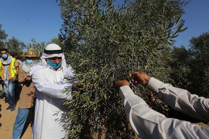 فلسطينيون يشاركون في حفل افتتاح موسم الزيتون في بلدة خزاعة ، شرق خان يونس جنوب قطاع غزة