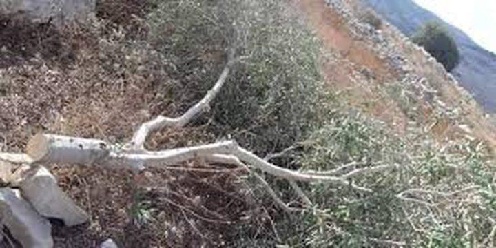 مستوطنون يحطمون اشجار الزيتون شرق يطا