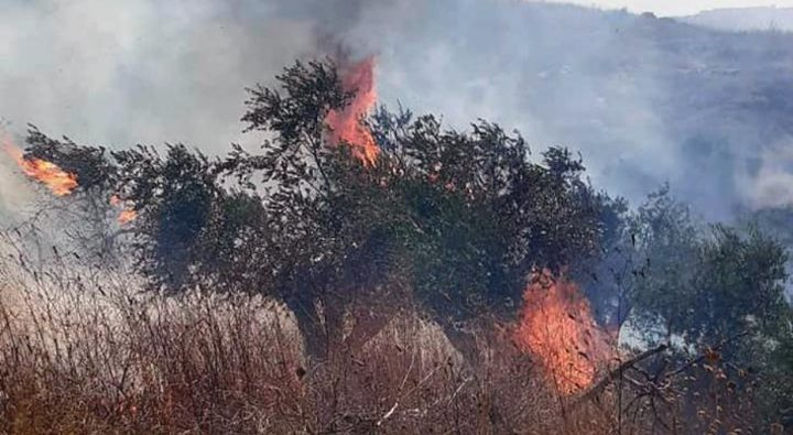 مستوطن يضرم النار في مئات أشجار الزيتون بقرية صفا غرب رام الله