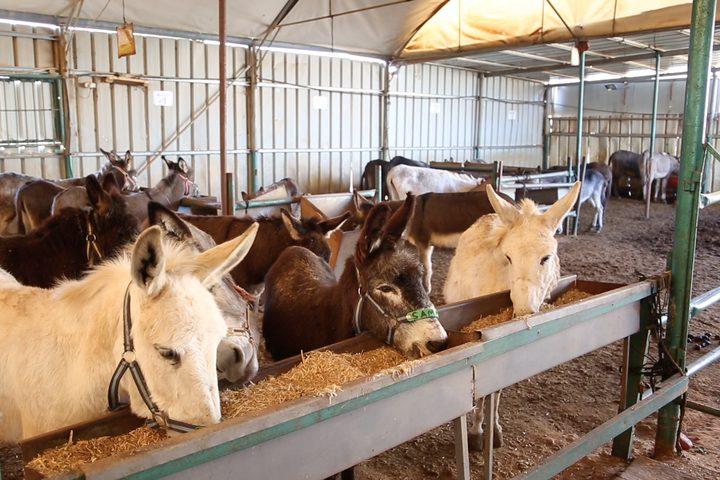 المركز الآمن للحيوانات يقدم الرعاية والعلاج للحيوانات العاملة، والتوعية والارشاد لأصحاب هذه الحيوانات من أجل العناية والرفق بها