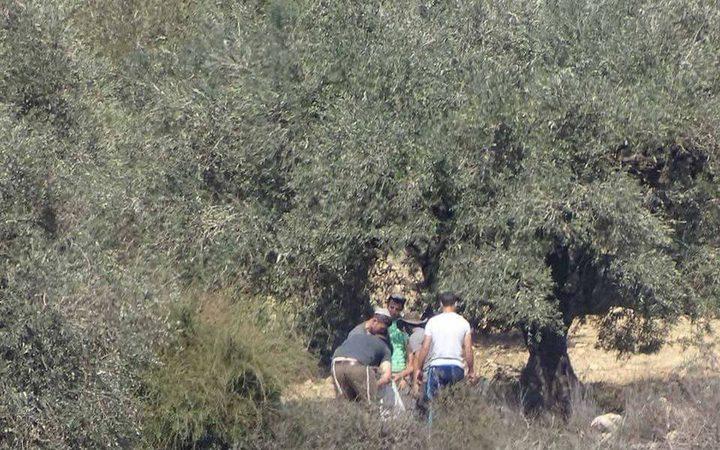 مستوطنون يسرقون ثمار الزيتون في الجبعة