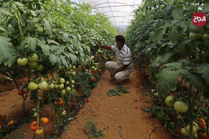 المزارع محمد قديح يجمع الطماطم في مزرعته في خان يونس جنوب قطاع غزة