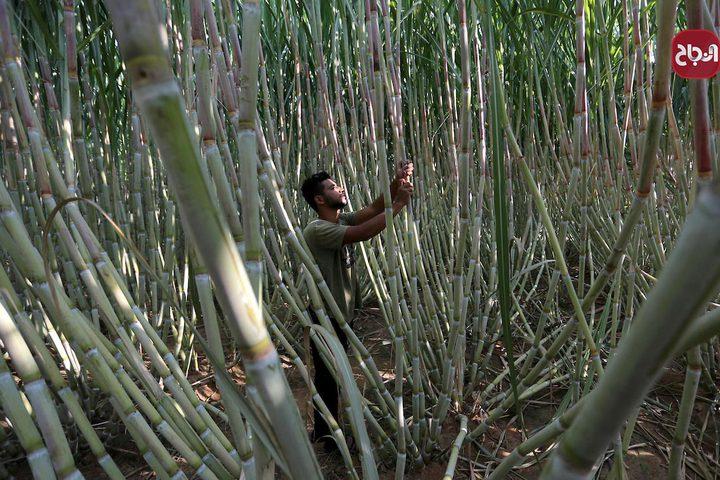 جمع قصب السكر في خانيونس جنوب قطاع غزة