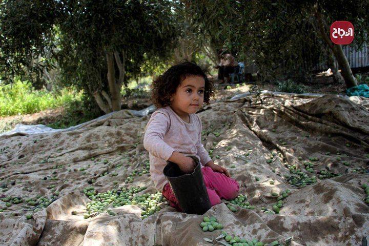 طفلة تشارك في جمع ثمار الزيتون