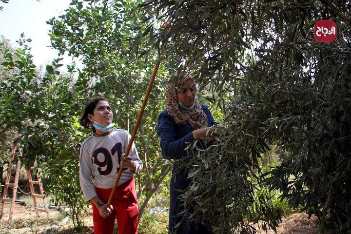 مواطنون يقطفون ثمار الزيتون