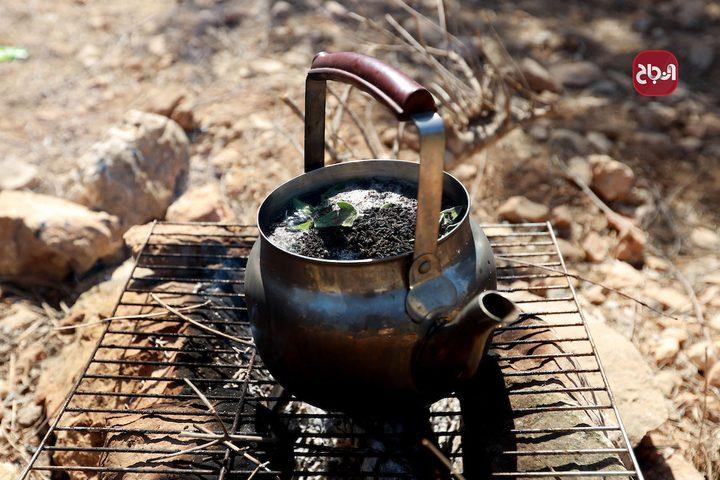 قطف ثمار الزيتون في مخيم شعفاط بالقدس