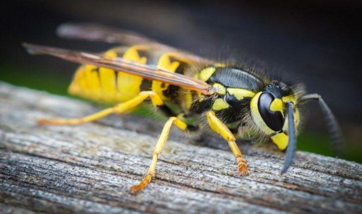 لماذا يفضل البشر النحل على الدبابير؟