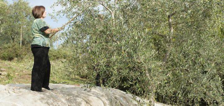 ممثلة كندا بفلسطين تشارك أهالي كفل حارس قطاف ثمار الزيتون