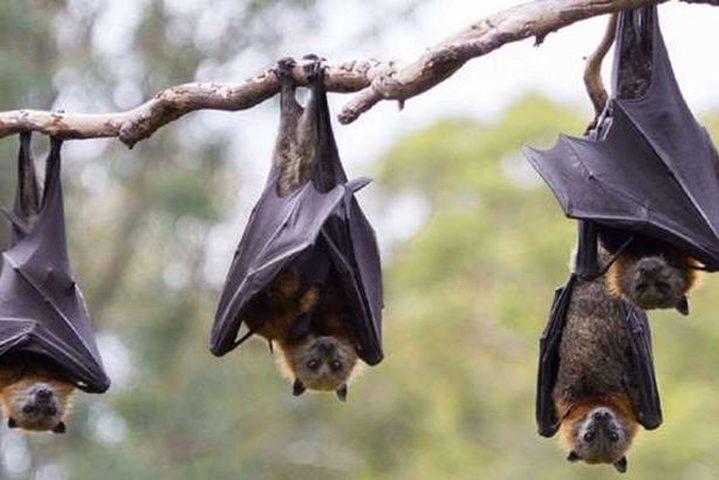 دراسة: الخفافيش تطبق مبدأ التباعد الإجتماعي عند المرض