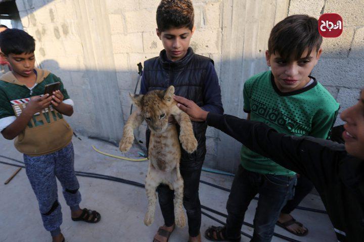 شاب فلسطيني يربي شبلي أسد في ساحة منزله في خانيونس جنوب قطاع غزة