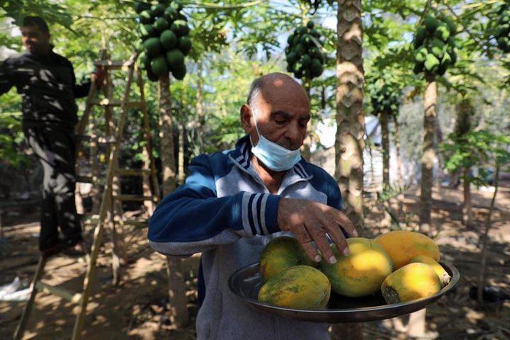 موسم قطف فاكهة الببايا في بيت لاهيا شمال قطاع غزة  تصوير مجدي فتحي