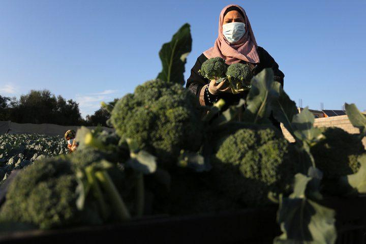 خريجات فلسطينيات يحصدن البروكلي في مزرعة بخان يونس جنوب قطاع غزة