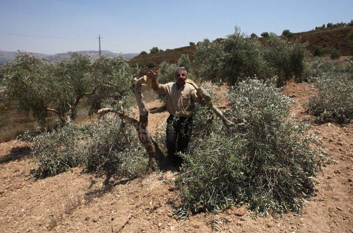 مستوطنون يقطعون 42 شجرة زيتون معمرة شرق سلفيت