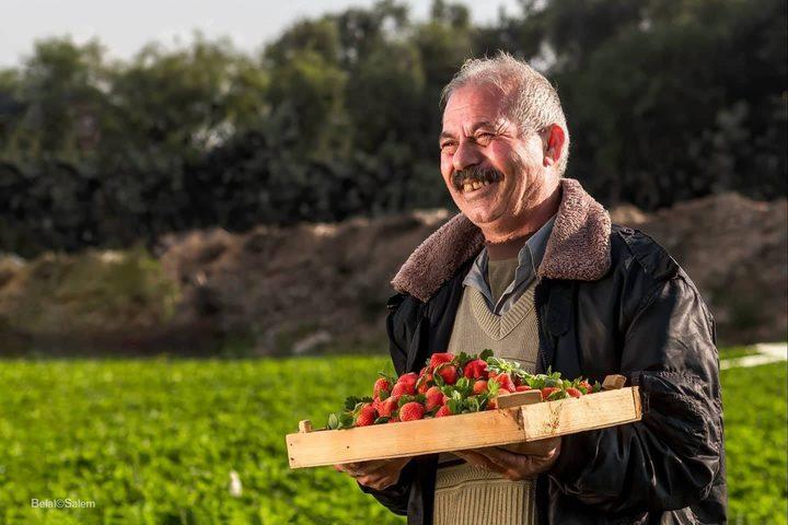 """قطف ثمار الفراولة """"التوت الأرضي"""" في بيت لاهيا شمال قطاع غزة"""