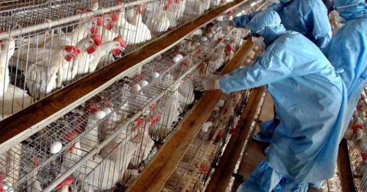 وزارة الزراعة تمنع دخول الطيور الحية من الداخل المحتل