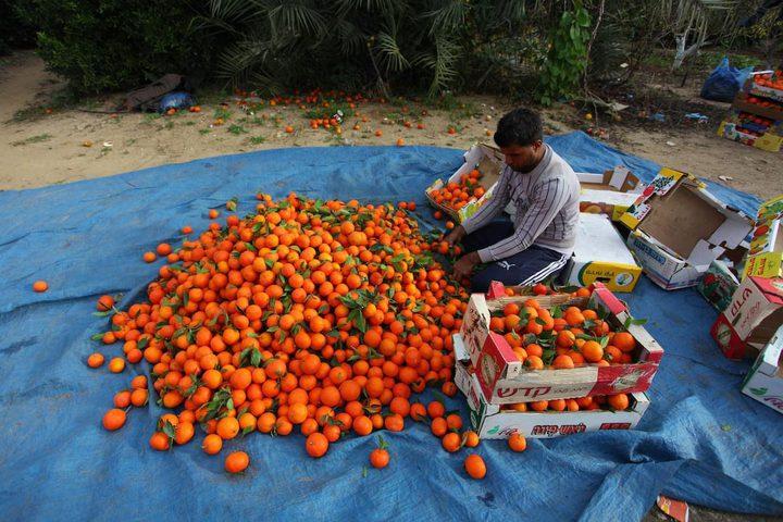 قطف ثمار الكلمنتينا في بيت حانون شمال قطاع غزة