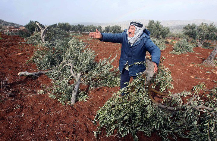 مستوطنون يُقدمون على اقتلاع 300 شجرة زيتون غرب حارس