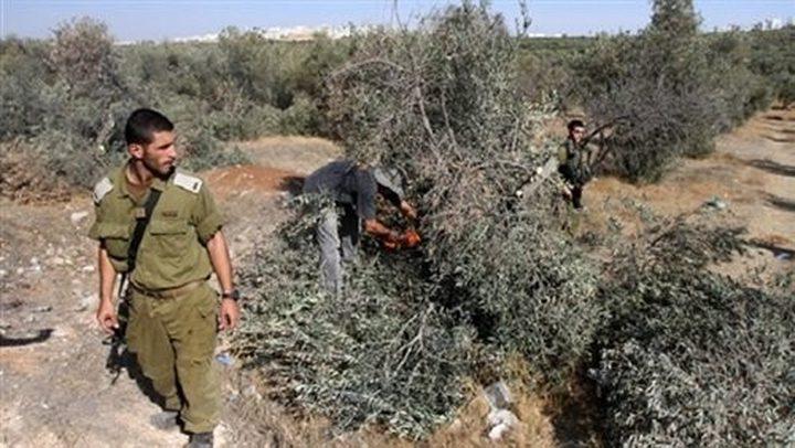 الاحتلال يقتلع أكثر من ألف شجرة غرب سلفيت