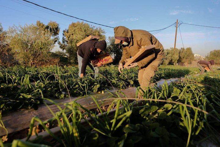 """قطف ثمار الفراولة """"التوت الأرضي"""" في بلدة بيت لاهيا شمال قطاع غزة. تصوير: عبد الحكيم أبو رياش"""
