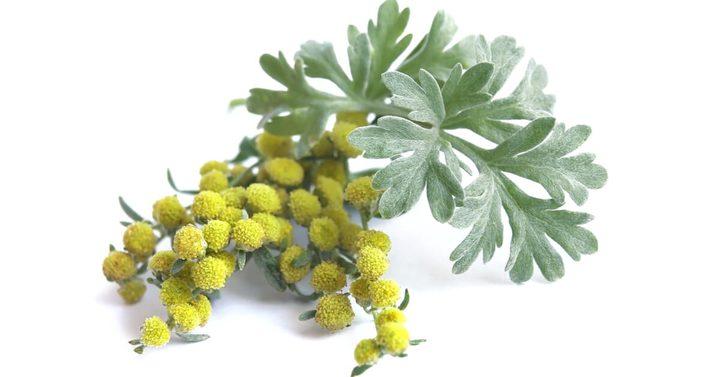 علماء: نبات شيح ابن سينا قادر على إيقاف تفشي كورونا
