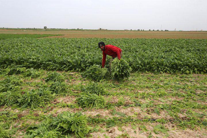مزارعون يعملون في أراضيهم بمحاذاة الأسلاك الشائكة في خانيونس