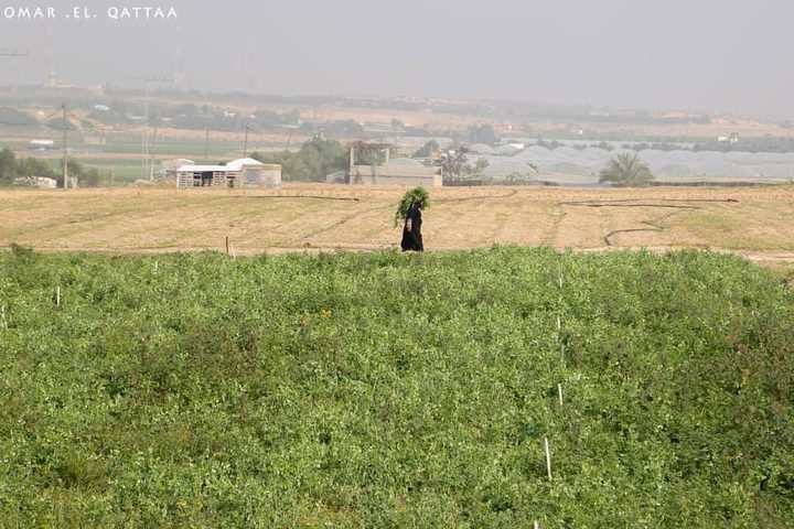 جانب من أعمال المزارعين في بيت لاهيا شمال قطاع غزة  تصوير: عمر القطاع