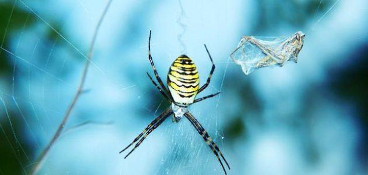 العناكبالكبيرة ذات الأرجل الطويلة تجتاح المنازل الأسترالية