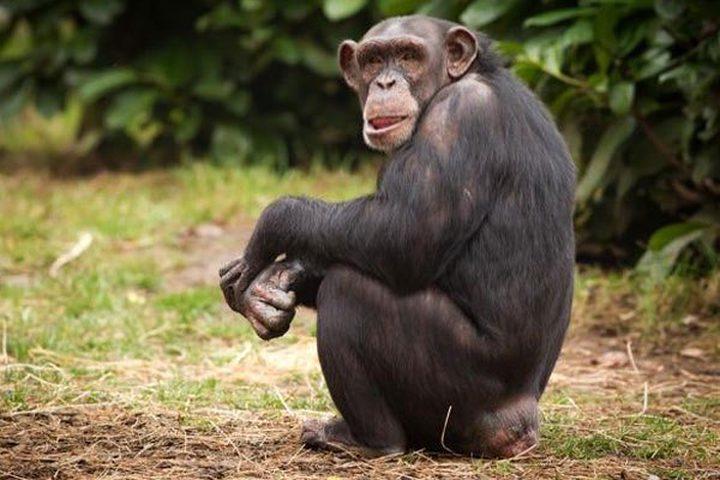 علماء يتوصلون إلى دليل محتمل لفهم مرض غامض يقتل الشمبانزي