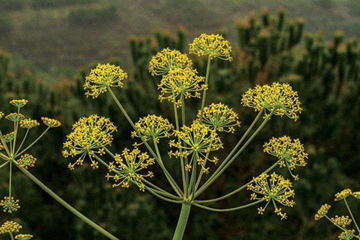اكتشاف مستخلص نباتي فعال ضد فيروس كورونا