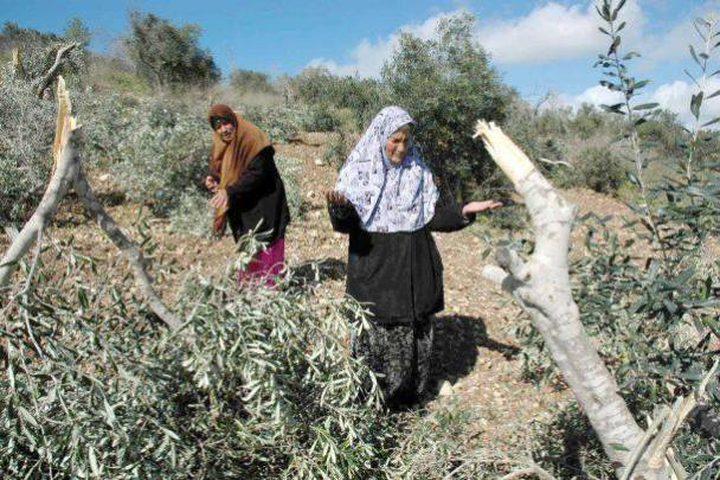 الخليل: مستوطنون يقطعون 50 شجرة زيتون شرق يطا