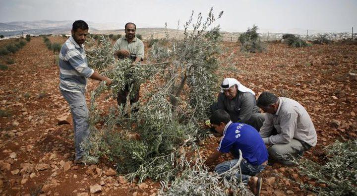 مستوطنون يقطعون 50 شجرة زيتون شرق بلدة يطا بالخليل