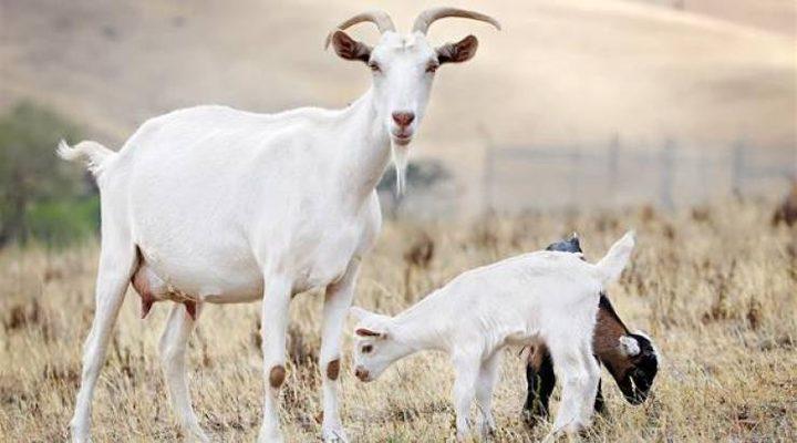 مكالمات فيديو مع الماعز تساهم في إنعاش مزرعة في بريطانيا