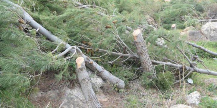 الاحتلال يشرع باقتلاع أشجار حرجية شرق طوباس