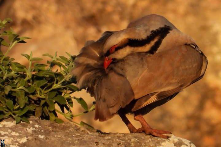 طائر الحجل الفلسطيني.. جمالٌ يكاد ينقرض  تصوير : محمد شعيبي