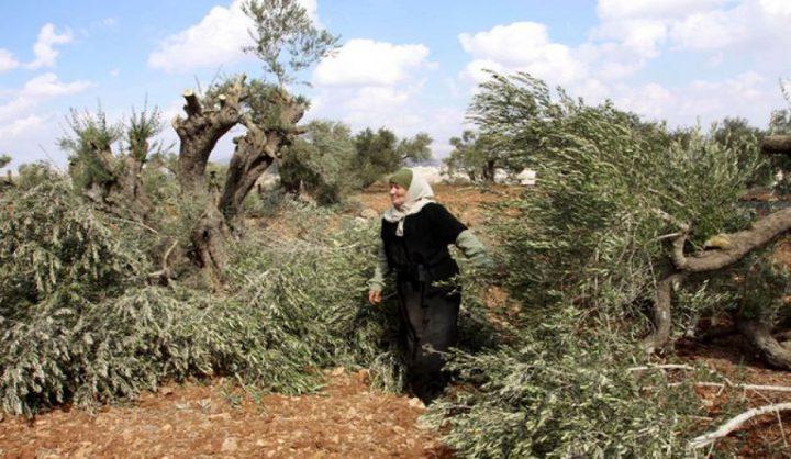 مستوطنون يقطعون عشرات أشجار الزيتون في قرية الولجة غرب بيت لحم
