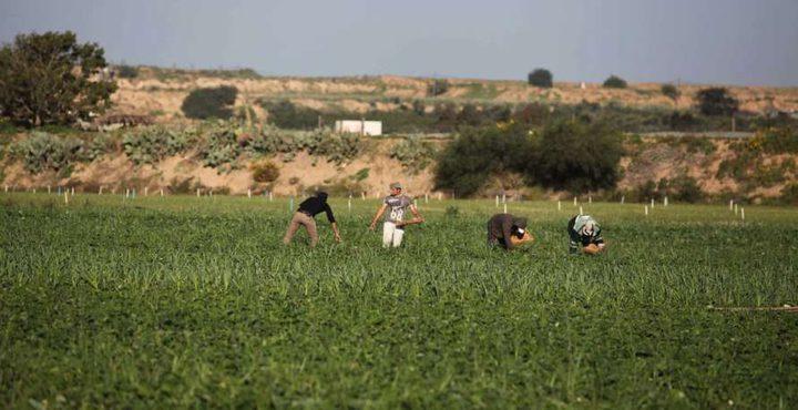 غزة: الاحتلال يرش مبيدات سامة على أراضٍ زراعية شرق خانيونس