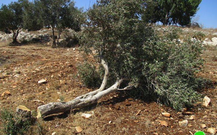 مستوطنون يقتلعون أشتال زيتون من أراضي قرية كيسان