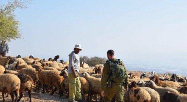 الاحتلال يستولي على قطيع من الأغنام من مراعي جنوب الخليل