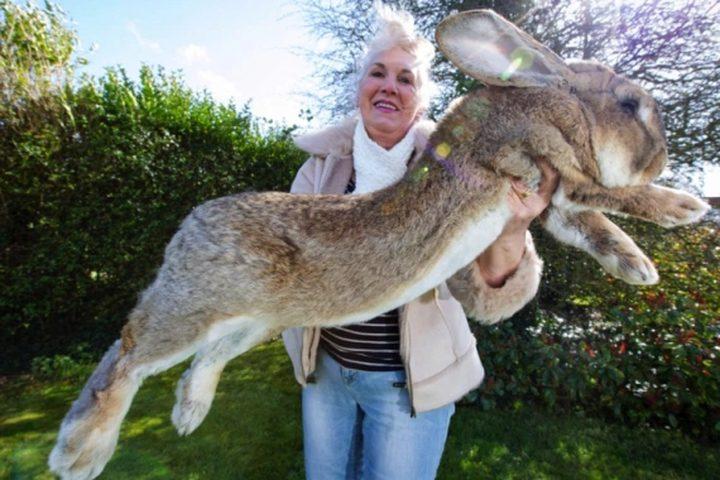 الشرطة البريطانية تبحث عن سارق أكبر أرنب في العالم