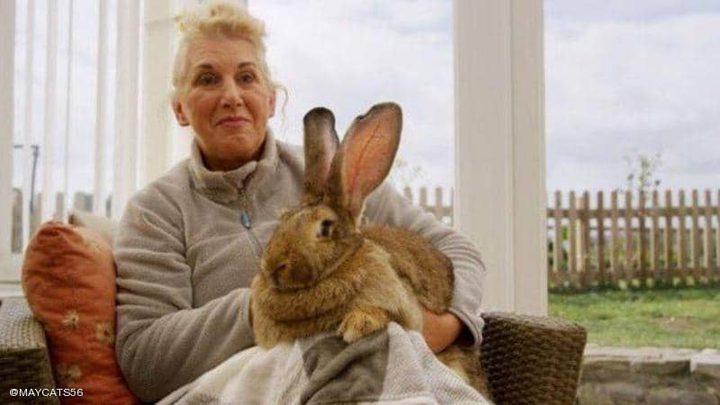 سرقة أضخم أرنب بالعالم وهذه مكافأة من يعيده