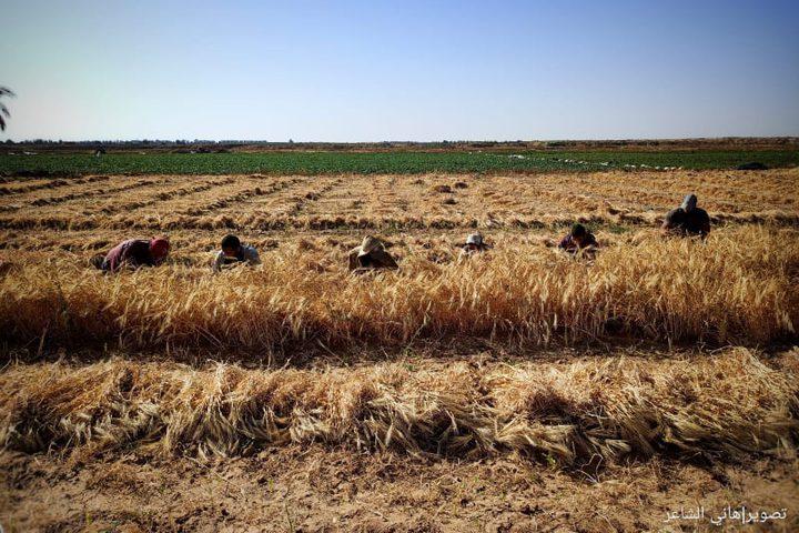 بدء موسم حصاد القمح والشعير في قطاع غزة  تصوير الزميل / هاني الشاعر