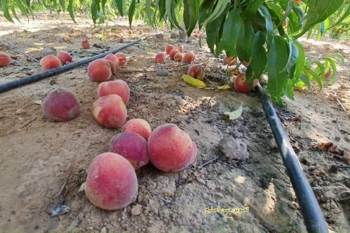 مزارع فلسطيني يعود لتفقد أرضه ومحاصيله الزراعية التي تقع على الحدود للعمل بها من جديد، بعد ما أوقفت الحرب أوزارها في غزة