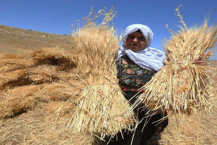 بدء موسم حصاد القمح في مدينة دورا جنوب الخليل تصوير : مشهور وحواح