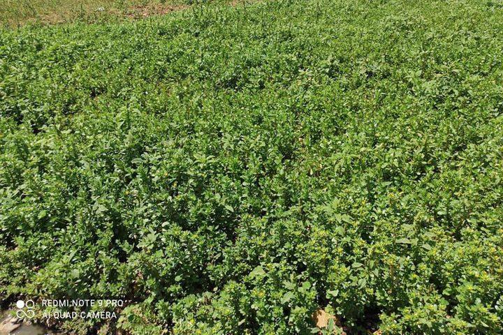 زراعة نابلس تتلف حوالي ١٠ دونمات من المزروعات الورقية التي يتم زراعتها على المياه العادمة