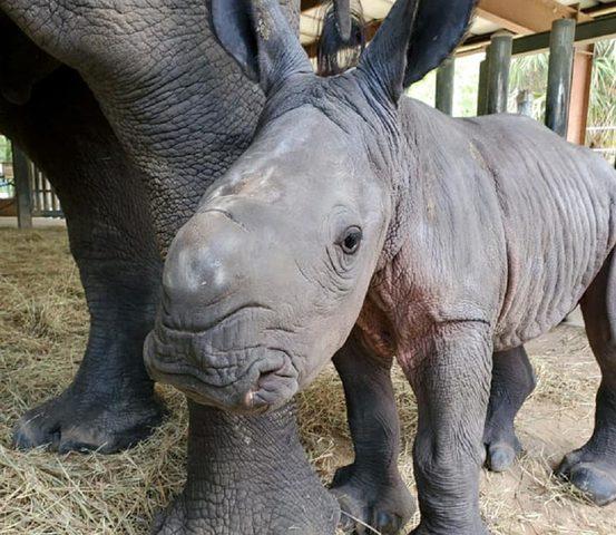 أمريكا: ولادة أنثى لوحيد القرن الأبيض المهدد بالانقراض