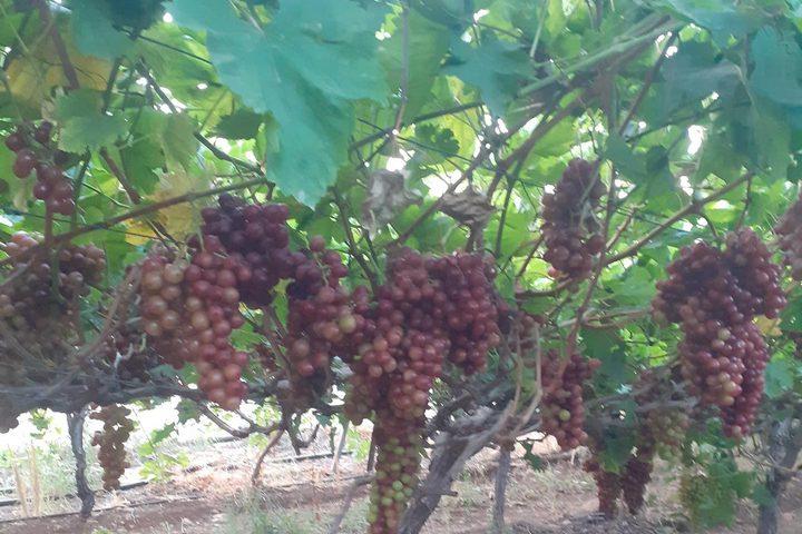 موسم قطف العنب في سهل طمون (عاطوف)
